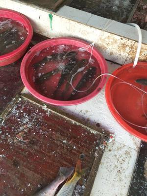 江西宜春金草鱼 1-1.5公斤 人工养殖