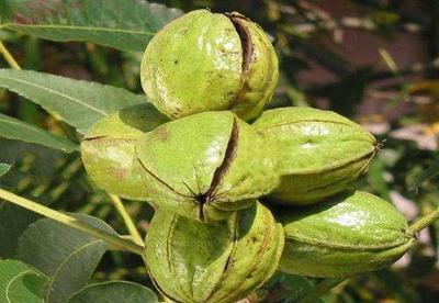 这是一张关于麻核桃树 核桃苗的产品图片