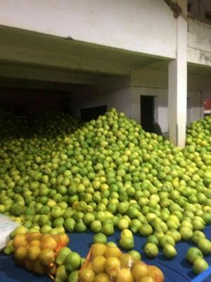 广东梅州沙田柚 2斤以上