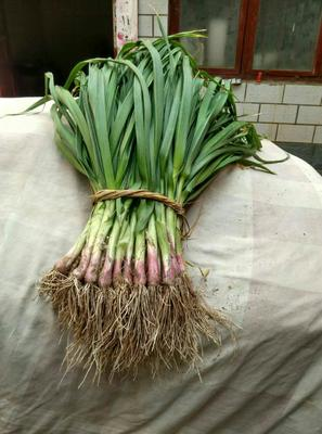 河南新乡红根蒜苗 45 - 50cm