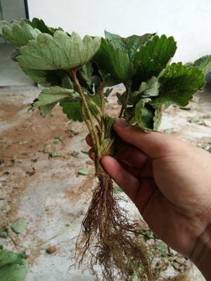 甜宝草莓苗 地栽苗 10公分以下