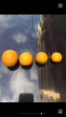 这是一张关于滑皮金桔特级果 3-4cm 1两以下的产品图片