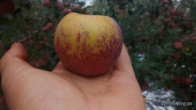 四川凉山丑苹果 75mm以下 片红 光果