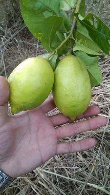 广东佛山香水柠檬 2.7 - 3.2两