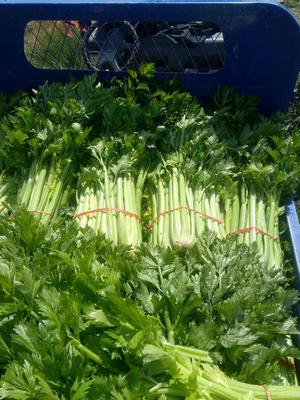 甘肃省兰州市永登县美国文图拉芹菜 55~60cm 露天种植 2.0~2.5斤