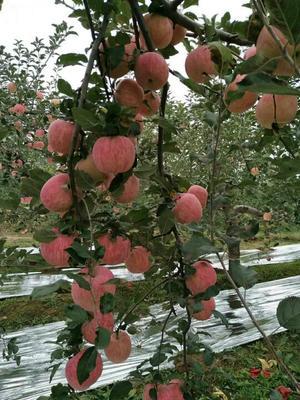 这是一张关于红富士苹果 70mm以上 纸袋 条红的产品图片