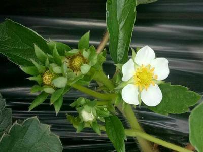 江苏泰州红颜草莓 30克以上