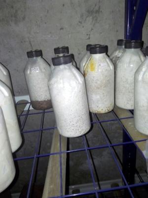 重庆平菇菌种 原种/二级种