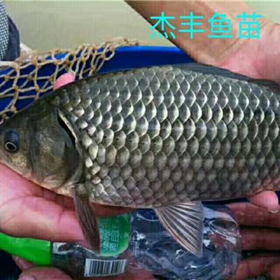 广东广州中科三号鲫鱼 0.05公斤 人工养殖