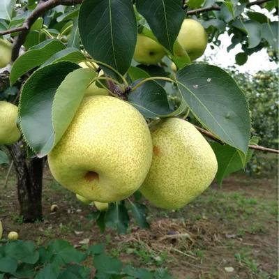 这是一张关于砀山酥梨 75mm以上 250-300g的产品图片