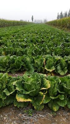 山西省大同市南郊区87-114白菜 3~6斤 净菜