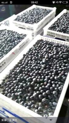 重庆重庆蓝丰蓝莓 12 - 14mm以上