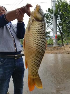 浙江温州野生鲤鱼 野生 1.5-3公斤