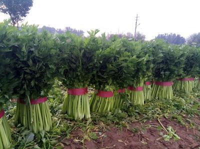 河北省邯郸市曲周县皇妃芹菜 55~60cm 露天种植 0.5斤以下