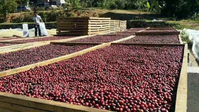 云南思茅墨江哈尼族自治县云南小粒咖啡豆 上品咖啡豆天然无公害