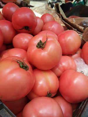 山东临沂硬粉番茄 硬粉 弧三以上 不打冷 山东西红柿产地大红硬粉西红柿供应
