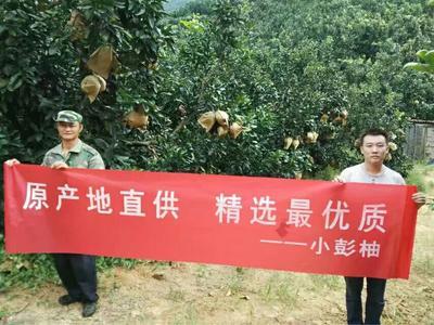 福建漳州平和蜜柚 2斤以上 红心柚