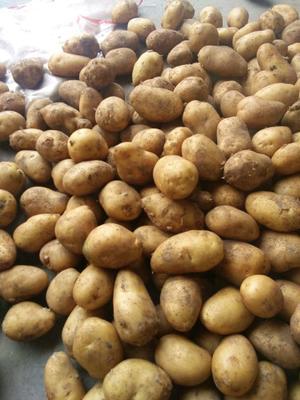 这是一张关于荷兰15号土豆 2~4两 土豆 荷兰15号土豆的产品图片