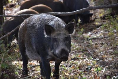 黑龙江伊春生态野猪 统货 200-300斤