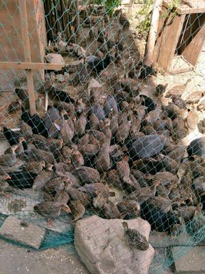 山东菏泽银斑珍珠鸡 2斤以下