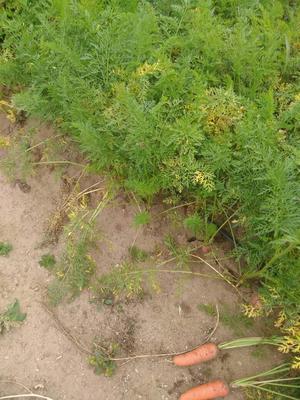 河北省张家口市张北县长红胡萝卜 10~15cm 3两以上 3~4cm