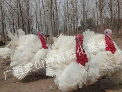 广西南宁尼古拉火鸡 2斤以下
