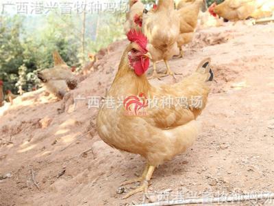 广西南宁三黄鸡苗
