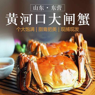 这是一张关于黄河口大闸蟹 0.7两 统货的产品图片