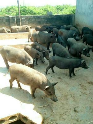 广西桂林黑山猪 40-60斤 统货