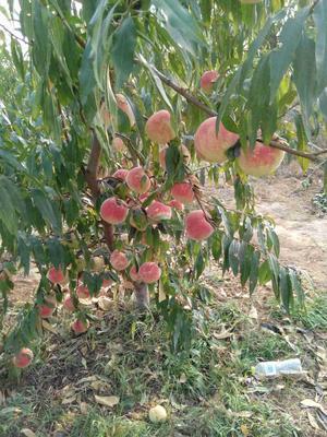 山东青岛映霜红蜜桃 60mm以上 4两以上