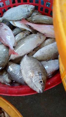 福建漳州东海带鱼 野生 0.5龙8国际官网官方网站以下