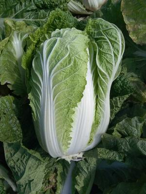 山东青岛胶州大白菜 6~10斤 毛菜