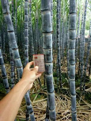 广西崇左黑皮甘蔗 5 - 6cm 2.5 - 3m