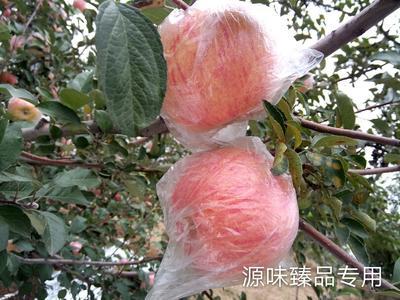 这是一张关于冰糖心苹果 75mm以上 纸+膜袋 条红的产品图片