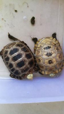 广东茂名缅甸陆龟 5-10cm 0.5斤以下