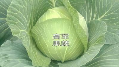 陕西省渭南市蒲城县京丰甘蓝 5~6斤