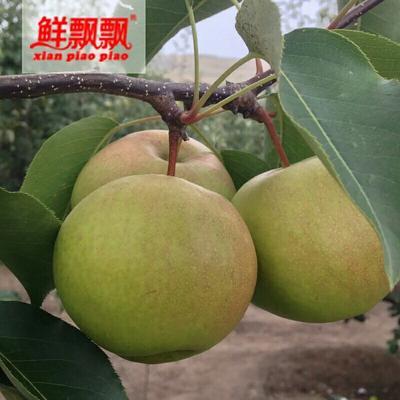 甘肃张掖苹果梨 90mm以上 200-250g