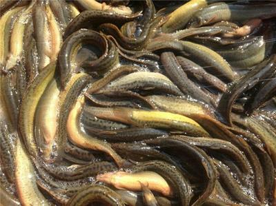 广西百色台湾泥鳅 15cm以上 人工养殖
