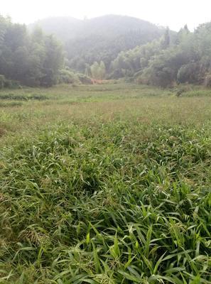 福建南平牧草种子 宽叶雀稗种子