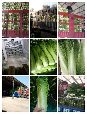 山西省晋中市太谷县麻叶青白菜 2~3斤 二毛菜