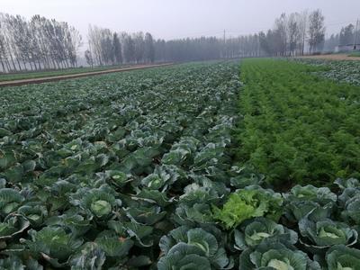 山东省菏泽市牡丹区京丰甘蓝 4~5斤