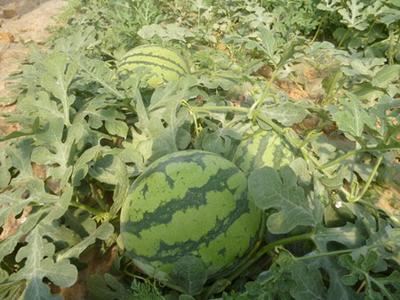 陕西渭南临渭区京欣西瓜 8斤打底 8成熟 1茬 有籽