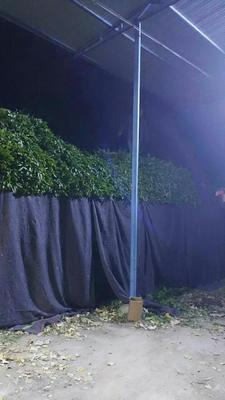 新疆维吾尔自治区阿克苏地区库车县尖叶青莴笋 40-50cm 2斤以上
