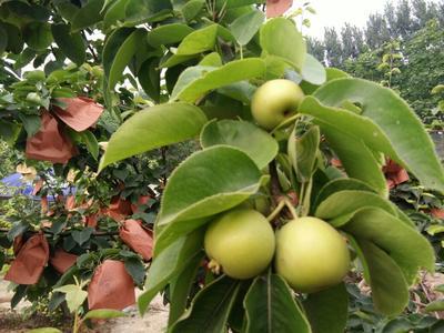 这是一张关于晚秋黄梨苗 0.5~1米的产品图片