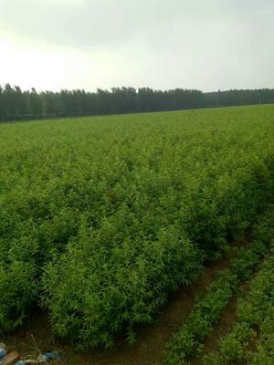 这是一张关于春蜜桃树苗 0.5~1米的产品图片