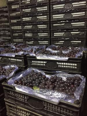辽宁锦州巨峰葡萄 0.8-1斤 5%以下 1次果