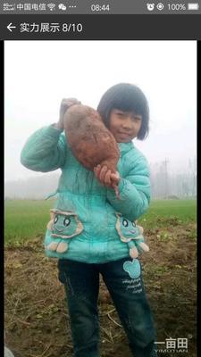 安徽亳州红薯干 1年 片状
