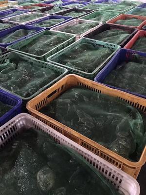 重庆重庆牛蛙