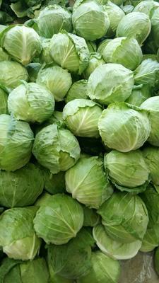 河南省开封市开封县铁头圆包菜 1.5~2.0斤
