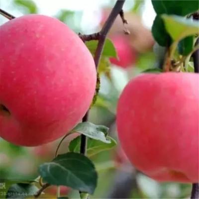 这是一张关于苹果 70mm以上 纸袋 片红的产品图片
